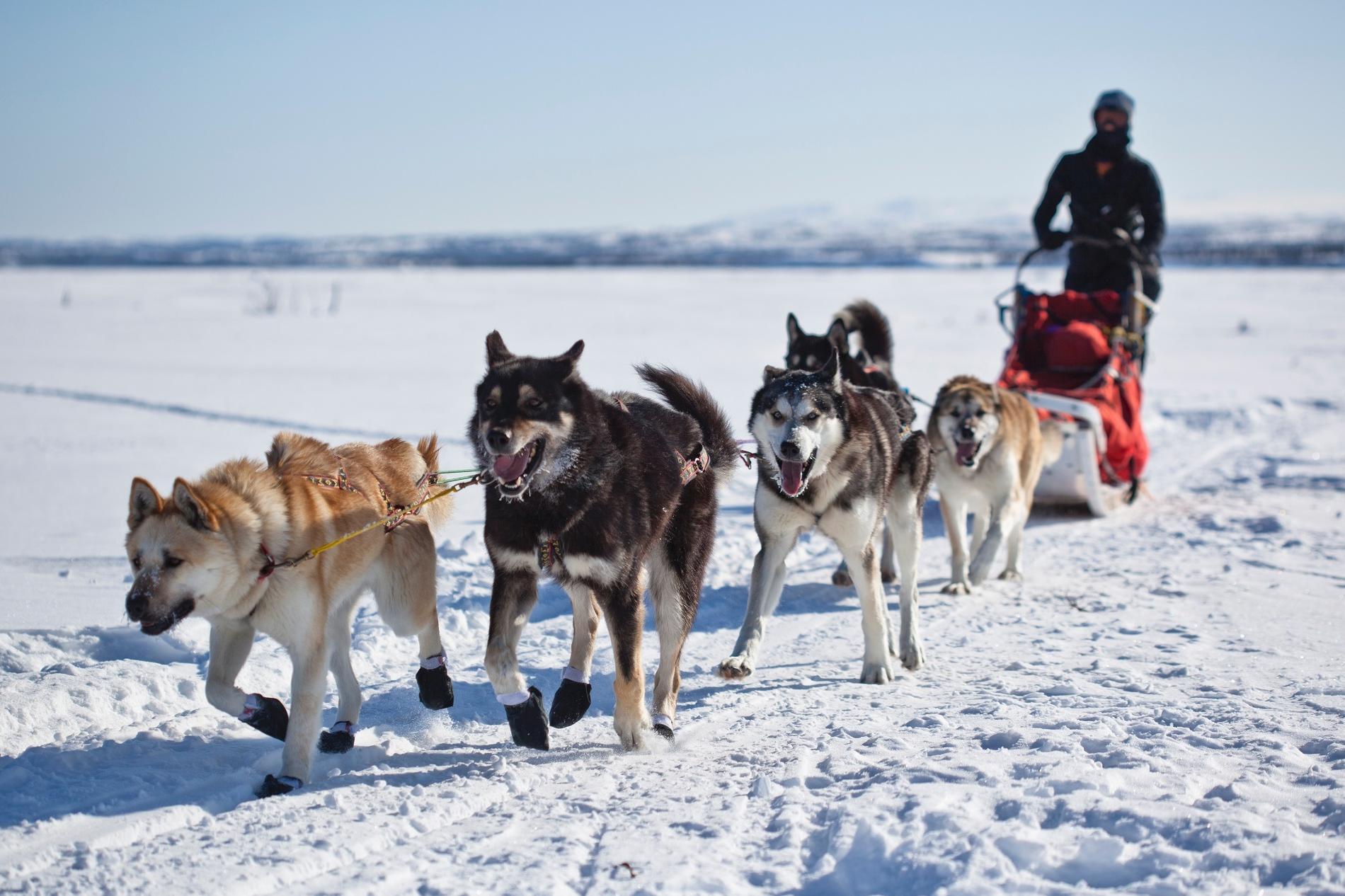 Devenir guide de chiens de traîneau au Québec
